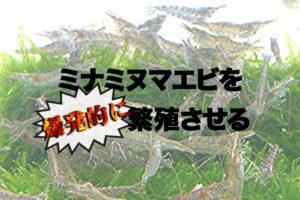 ミナミヌマエビを爆発的に繁殖させる!