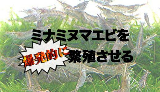 ミナミヌマエビを爆発的に繁殖させる